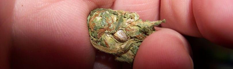 Seed cannabis